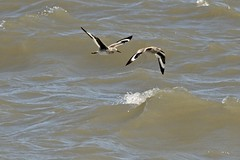 Sand Pipers on the wing (pooroldtim) Tags: sandpipers obx nikon d850 outerbanks