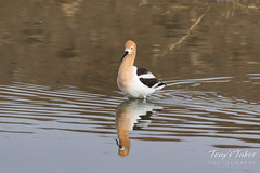 April 22, 2018 - An American Avocet enjoys a nice day. (Tony's Takes)