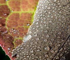 Feathers and Leaves. (Omygodtom) Tags: smugmug macro water detail dof dew tamron90mm tamron texture d7100 contrast composition