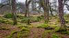 Coed Bryn Engan (Noel Wyn Davies) Tags: eryri cymru wales coed bryn engan a5 snowdonia moss trees trunks stone building adeilad cerrig mwsog capelcurig