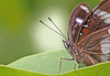 Eggfly Butterfly 011 (DMT@YLOR) Tags: butterfly eggflybutterfly gumleaf redfloweringgum eye antenna green goodna ipswich queensland australia purple closeup wings legs beautiful texture crisp sharp clear lines sunlight light spotlight white tree garden spots multicolour dainty delicate