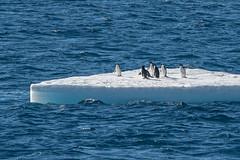 Free Ride (Jian Fan) Tags: antarctica adéliepenguin penguin iceberg