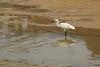 DSC_0979 (Hachimaki123) Tags: 日本 japan 厳島 itsukushima 宮島 miyajima animal 動物 鳥 bird ave
