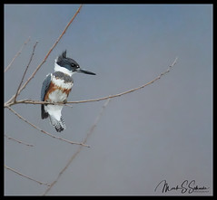 Belted Kingfisher at Eagle Bluffs Conservation Area - No 2 (Nikon66) Tags: beltedkingfisher kingfisher eaglebluffsconservationarea columbia boonecounty missouri nikon d850 600mmnikkor