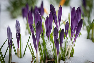 Crocuses, winter is back