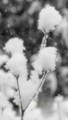 Winter's Blossoms (myaarhkoo1) Tags: blackandwhite branches environment fineart imagestock nature newengland outdoors outside photoart plant rhodeisland scenic snow snowcovered snowfall snowflakes snowstorm usa weather winter macro monochromemonday monochrome wood tree shrub blanc et noir