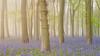 The Blues (hammermad) Tags: flowers spring springtime forest trees woods ashridge light lightroom foliage blue bluebells morning mist fog foggy sunrise dawn