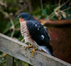 Garden visitor (Peter Leigh50) Tags: sparrow hawk bird garden