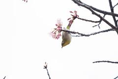 _3188185.jpg (plasticskin2001) Tags: mejiro sakura bird flower