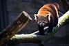 Red panda (Cloudtail the Snow Leopard) Tags: ailurus animal bär bärenkatze eat eating feuerfuchs firefox fulgens goldhund katzenbär kleinbär kleiner mammal panda red roter säugetier tier zoo stadtgarten karlsruhe