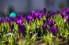 Crocuses (eric robb niven) Tags: ericrobbniven scotland dundee blairgowrie perthshire crocuses flowers nature springwatch