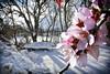 Primavera   Invierno   Segovia (alrojo09) Tags: alrojo09 primavera invierno nieve almendros flor spain