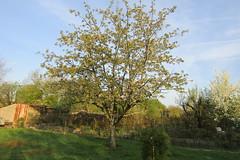 The cherry tree (*SHERWOOD*) Tags: france vendée larochesuryon home garden