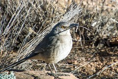 Golden eyed bird (Anna Gurule) Tags:
