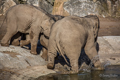 Charge! (JKmedia) Tags: asian elephant boultonphotography 2018 february chesterzoo close animal trunk indian hiwayherd baby calf dirty soil sand brown sibling drinking pool water curly