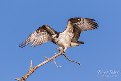 Male Osprey landing sequence - 23 of 28
