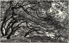 Va où le vent te pousse. (*Jost49* (±Off)) Tags: france paysdelaloire noirmoutier bois wood boisdelachaise arbre tree nb bw monochrome canoneos6dmkii canonef1635f4lisusm