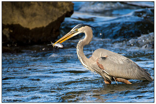 Great Blue Heron with Shad -Explored- DSC_4825a