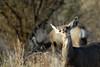 Odocoileus hemionus (rdodson76) Tags: odocoileushemionus muledeer deer doe female ears eating snacking food animal mammal wildlife wild refuge bosquedelapche nwr nature habitat newmexico environment ecology west climatechange game
