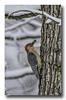 Red bellied woodpecker... (Roger Photos) Tags: nef birds virginia woodpecker red bellied