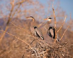 Heron Pair (droy0521) Tags: belmar nesting wildlife winter sunrise bird colorado outdoors tree waterfowl branches places animal