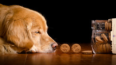 Rolling Your Way 12/52 (bztraining) Tags: dogchal henry odc bzdogs bztraining golden retriever 100xthe2018edition 100x2018 image28100 3652018 52weeksfordogs