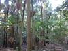 Livistona australis, Palm Valley, Cape Byron (tanetahi) Tags: capebyronstateconservationarea fanpalm livistona livistonaaustralis palmvalley capebyron nsw australia subtropical forest palmforest tanetahi