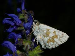 Muschampia tessellum - Tessellated skipper - Толстоголовка мозаичная (Cossus) Tags: 2013 hesperiidae muschampia pyrginae лишняги толстоголовка skipper