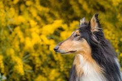 12/52 Leia & spring time (shila009) Tags: leia perro dog roughcollie flowers spring amarillo yellow background portrait 1252 profile perfil natural animal