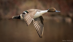 Northern Pintail (Melissa M McCarthy) Tags: northernpintail pintail duck bird waterbird waterfowl wildlife drake male birdinflight bif flying motion action fast neutral warmtone brown print stjohns newfoundland canada canon7dmarkii canon100400isii