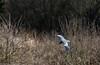 9Q6A8030 (2) (Alinbidford) Tags: alancurtis alinbidford brandonmarsh greyheron nature wildbirds wildlife