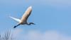 9Q6A8021 (2) (Alinbidford) Tags: alancurtis alinbidford brandonmarsh greatwhiteegret nature wildbirds wildlife