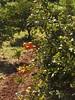 Naranjas (Azaharito) Tags: mallorca majorka spain hiszpania españa