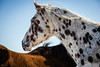 appaloosa (Jen MacNeill) Tags: appaloosa horse horses equine spots spot spotted stable