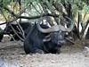 Sanbona Wildlife Reserve, Waterbuffalo (norbert.wegner) Tags: buffalo southafrica wildlife sanbona panasonic leica100400