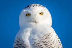 Snowy Owl (jrp76) Tags: kasotaprairie snowyowl buboscandiacus bird white black yellow