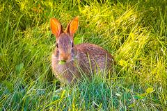 Happy Easter! (A Great Capture) Tags: cottontail nature toronto grass eastersundaya easter bunny rabbit happyeaster agreatcapture agc wwwagreatcapturecom adjm ash2276 ashleylduffus ald mobilejay jamesmitchell on ontario canada canadian photographer northamerica torontoexplore