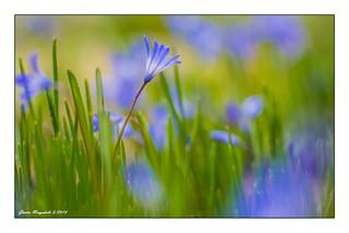 Blausternblüte