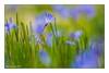 Blausternblüte (günter mengedoth) Tags: blaustern blüte garten licht sonne hell makro bokeh freigestellt historisch altgas meyeroptik görlitz orestor 135 mm f 28 meyeroptikgörlitzorestor135mmf28 saariysqualitypictures