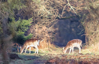 Fallow Deer Dama dama 008-1