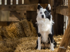 Time to hit the hay (Rainfire Photography) Tags: dog bordercollie farm barn hay country pet photography photographer heterochromia pickering ontario nikon d7200
