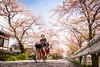 sakura '18 - cherry blossoms #6 (Kamigamo, Kyoto) (Marser) Tags: xt10 fuji raw lightroom japan kyoto kamogawa flower cherry sakura 京都 上賀茂 賀茂川 桜