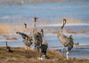 Common Cranes at lake Hornborgasjön (m3dborg) Tags: common cranes crane bird birds beautiful majestic wings dancing hornborgasjön skara sweden water animal animals wilderness wildlife