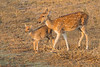 Doe and Fawn Chital | Axis axis | चीतल (Paul B Jones) Tags: india doe fawn chital axisaxis चीतल spotteddeer mother baby ranthambhorenationalpark rajasthan nature wildlife canon eos1dxmarkii ef500mmf4lisiiusm asia asian tourist tourism travel ecotourism indian indiya inde indien indië safari goldenhour