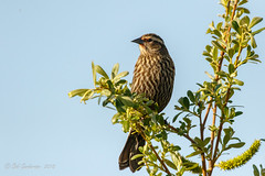 Red-winged Blackbird (f) (Bob Gunderson) Tags: agelaiusphoeniceus birds blackbirds icterids redwingedblackbird lakemerced sanfrancisco