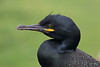 European Shag (Phalacrocorax aristotelis) - Lunga, Treshnish Isles, Inner Hebrides. (Andrew Bradford Images) Tags: seabird shag phalacrocoraxaristotelis phalacrocorax eurasianshag europeanshag