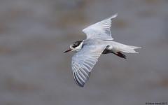 Whiskered Tern (Chlidonias hybrida) (Steve Arena) Tags: bird birds birding thailandbirding2017 thailandhttpthailandbirding2017blogspotcom2017 thailand 2017 nikon d750 bangpu bangpupier samutprakan whiskeredtern chlidoniashybrida marshtern tern
