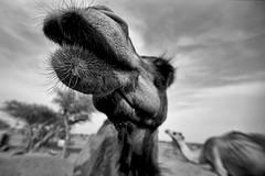 camel 2 (David Faulkner 1989) Tags: oman travel wildlife monochrome fisheye middleeastern desert omanicamels canon1dmkiin fullframe village