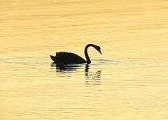 Black swan at sunset (elphweb) Tags: hdr highdynamicrange nsw australia seaside