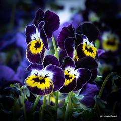 Spring!!! Garden pansy (Magda Banach) Tags: canon canon80d sigma150mmf28apomacrodghsm blue colors flora flower garden gardenpansy macro nature plants yellow spring